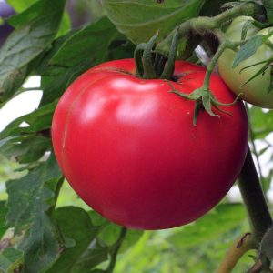 Tomate rose de champ
